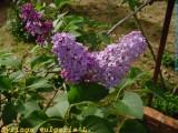 Lila (Syringa vulgaris)
