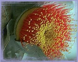 Macrocarpa-Eucalyptus Macrocarpa