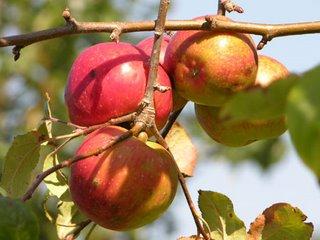 Manzana (Apple)