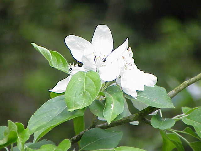 Manzano silvestre (Malus pumila) CRAB APPLE