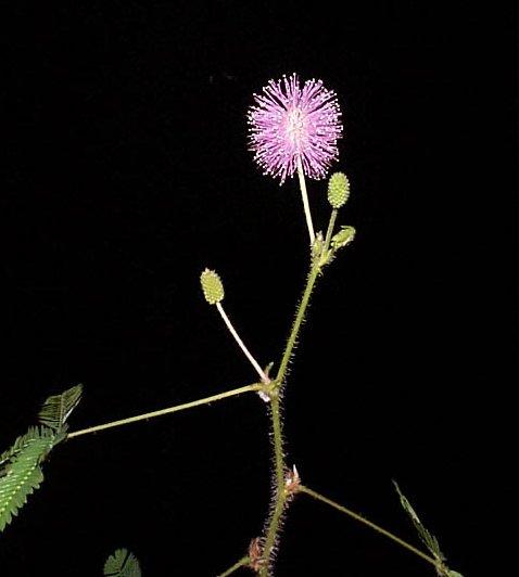Mimosa (Mimosa Púdica)