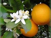 Naranja -Cistus Sinessis