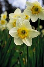Narcissus (narcissus pseudo-narcissus)