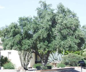 Olivo (Olea europaea) OLIVE