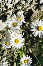 Ox-Eye Daisy (chrysanthemum leucanthemum)