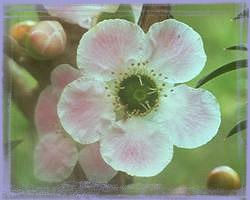 Peach Flowered Tea Tree-Leptospermun Squarrosum