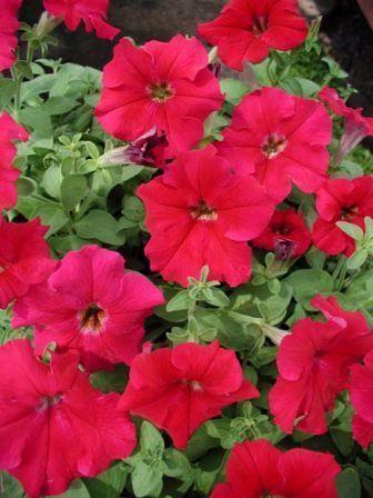 Petunia (Petunia Hybrida)