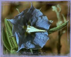Rough Bluebell