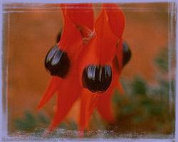 Sturt Desert Pea-Clianthus Formosus