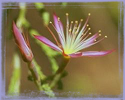 Turkey Bush-Calytrix Extipulata