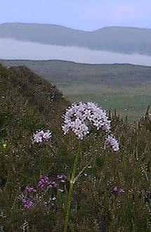 Valeriana (Valeriana Officinalis)