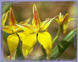Yellow Cowslip Orchid-Caladenia Flava