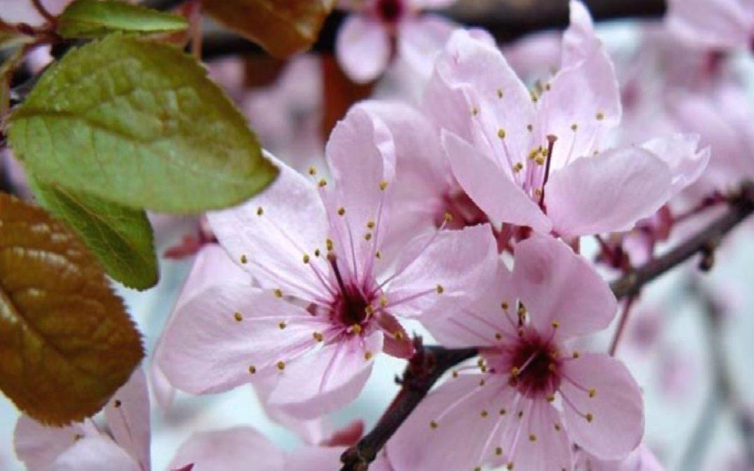 Ciruelo Silvestre -Prunus Cerasifera