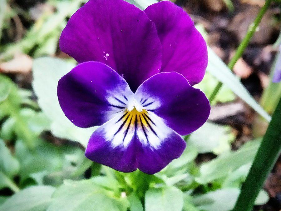 Violeta tricolor – Bowles Black